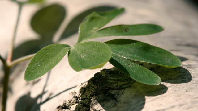 Green shamrock grows over a deck of old tree in spring video