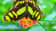 Green Spotted Triangle or Tailed Jay Butterfly on Flower video