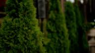 Green spring row of thujas video