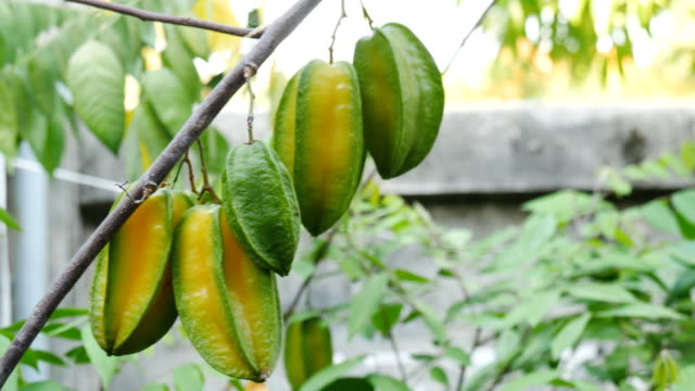 Green star apple fruits hanging on a tree video