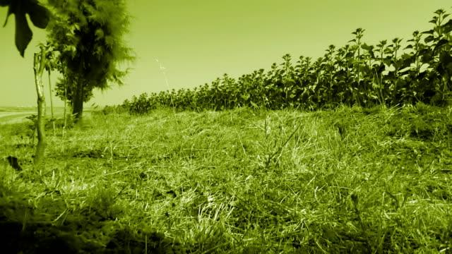 Green sunflower video