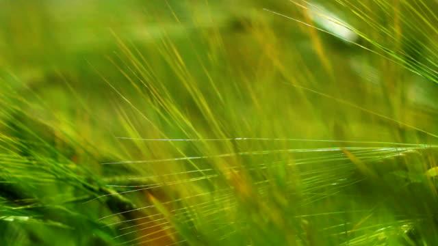 Green swaying ears of grain video