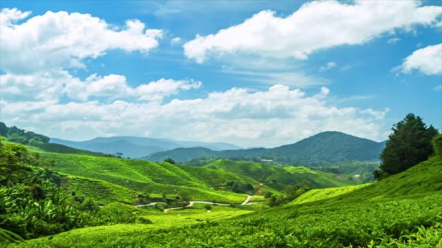 Green Tea Cameron Highland. video