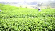 Green Tea Harvest video