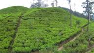 AERIAL: Green tea plantage video