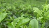 Green tea plantage video