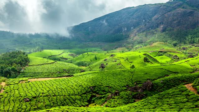 Green tea plantations in Munnar, Kerala, India video