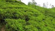 AERIAL: Green tea rows video