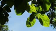 Green Teak leafs in the forest video