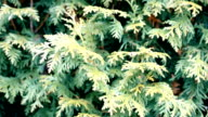 Green thuja branches stirred by breeze video