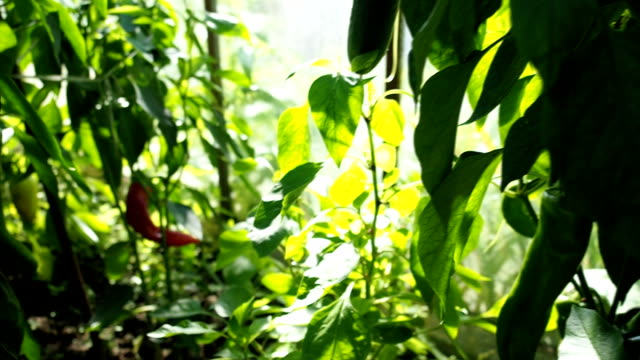 Green tomatoes and red peppers in the greenhouse VIDEO video