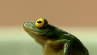 Green Tree Frog video