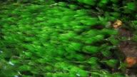 Green Waterweeds video