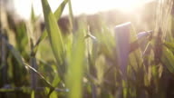 Green wheat field and sunny day video