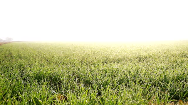 Green wheat field in foggy morning video