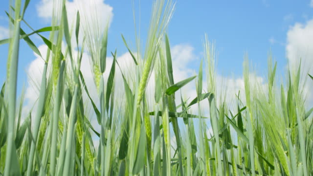 CLOSE UP: Green wheat field video