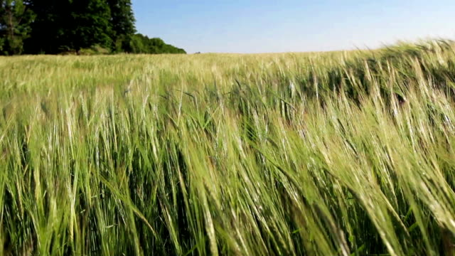 Green Wheat Field Waves Moved by Summer Wind video