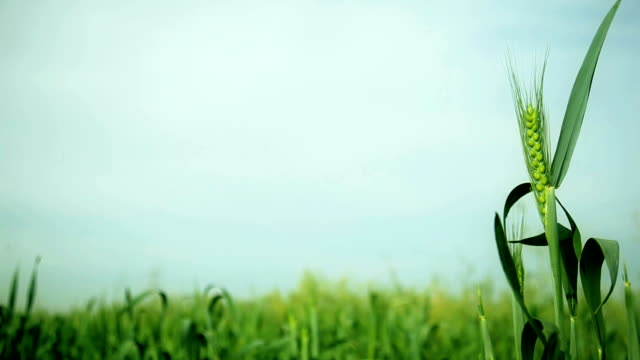 Green Wheat Field with focus on single ear video