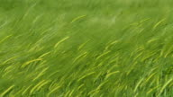 HD: Green Wheat Swaying In The Wind video