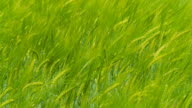 HD SLOW MOTION: Green Wheat Swaying In The Wind video