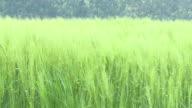 HD: Green wheat video
