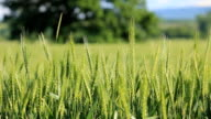 Green wheat video