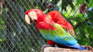 Green Winged Macaw video