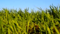 Green winter wheat swaying in the wind video