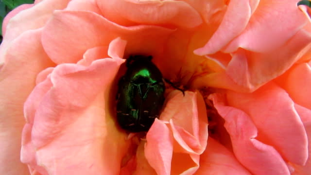 Green with metallic shine beetle Cetonia aurata or Rose chafer moves in the soft pink beautiful flower of the rose - 38s video