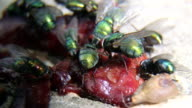 Greenbottle flies feeding on some rotten meat outdoors video
