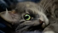 Green-eyed cat is lying on the bed close up video