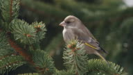 Greenfinch - female video