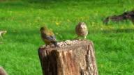 Greenfinch (Carduelis chloris) video