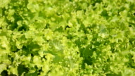 GreenOakLeaves video