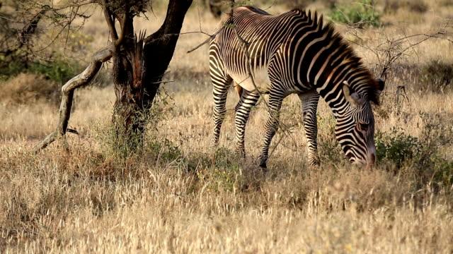Grevy's Zebra video
