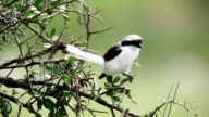 Grey Backed Fiscal Shrike (Lanius excubitoroides) perched on brunch video