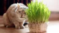 Grey cat eating grass video