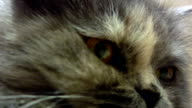 Grey Cat video