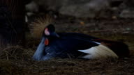 Grey Crowned Crane in  National Park video