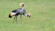 Grey Crowned Crane in Tanzania, Africa video