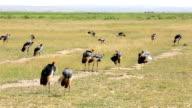 Grey Crowned Crane video