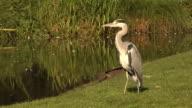 Grey heron at a lakeside video