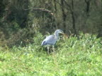 PAL: Grey heron catching mouse video