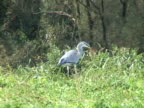 NTSC: Grey heron catching mouse video