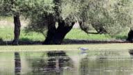 grey heron eating fish video