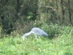 PAL: Grey heron eating video