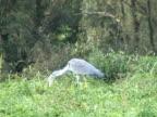 NTSC: Grey heron eating video