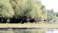 grey heron hunting fish in swamp video