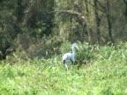 PAL: Grey heron hunting video