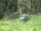 NTSC: Grey heron hunting video